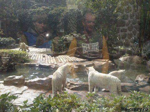 Белые тигрульки